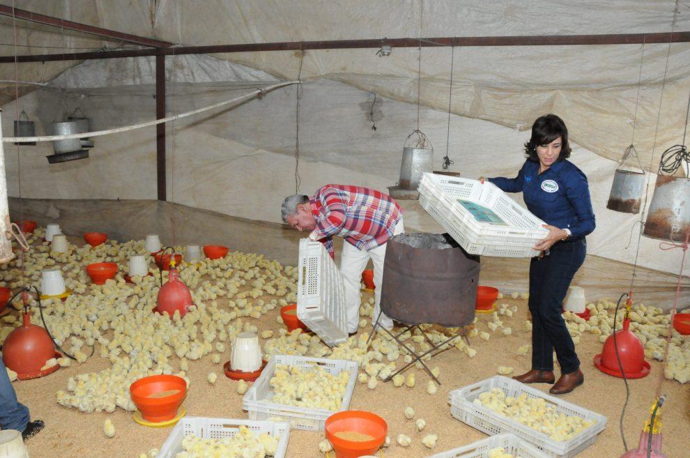 agricultura pollos