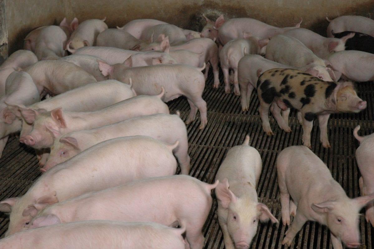 agricultura porcinos