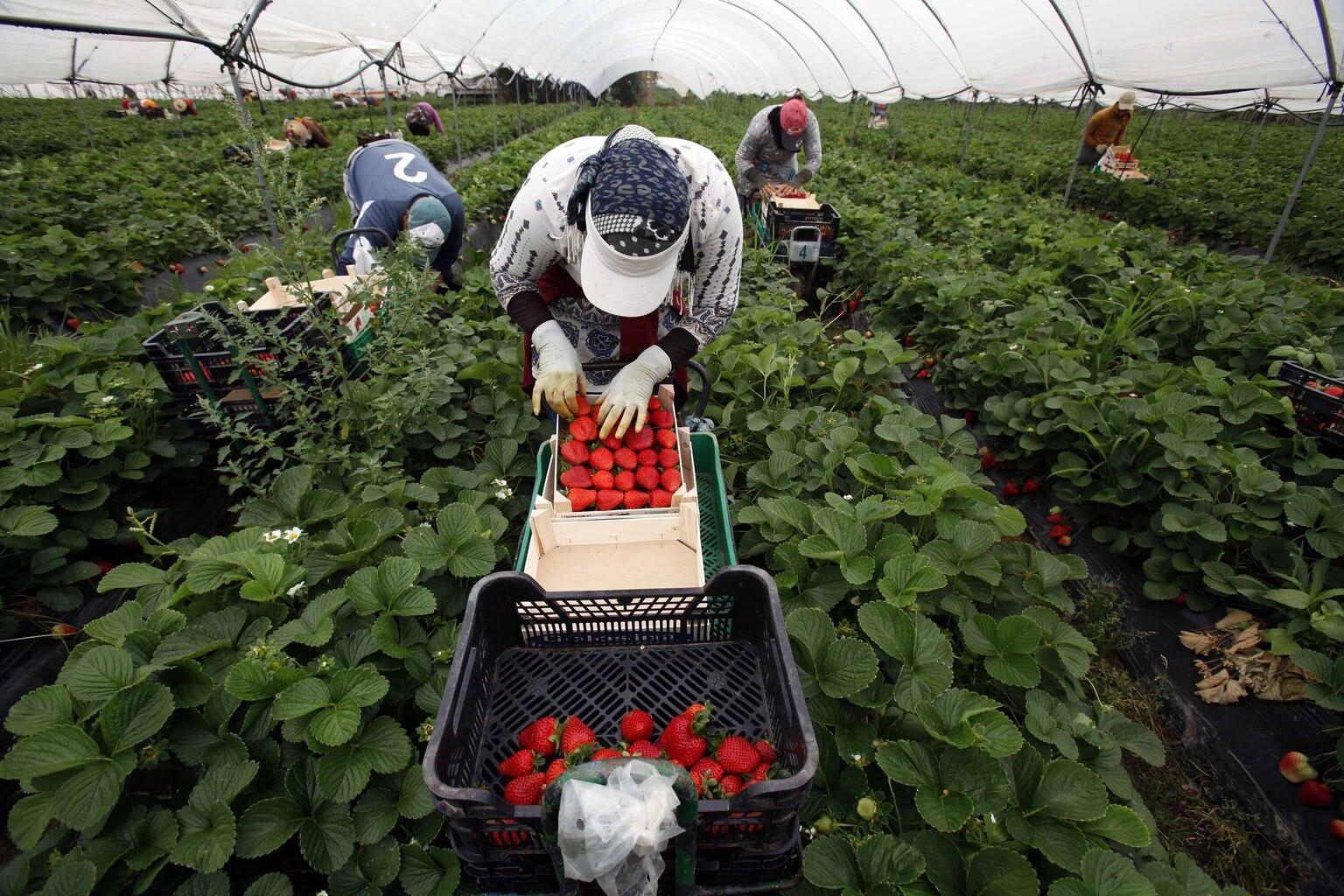 Trabajadores temporeros o temporales, Europa, agricultura, cosecha