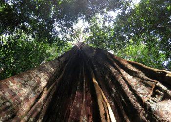Árbol grande del Amazonas. | Europa Press.Árbol grande del Amazonas(Foto de ARCHIVO)1/1/1970