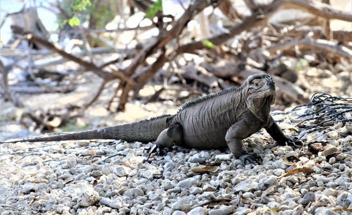 iguanas en el lago enriquillo