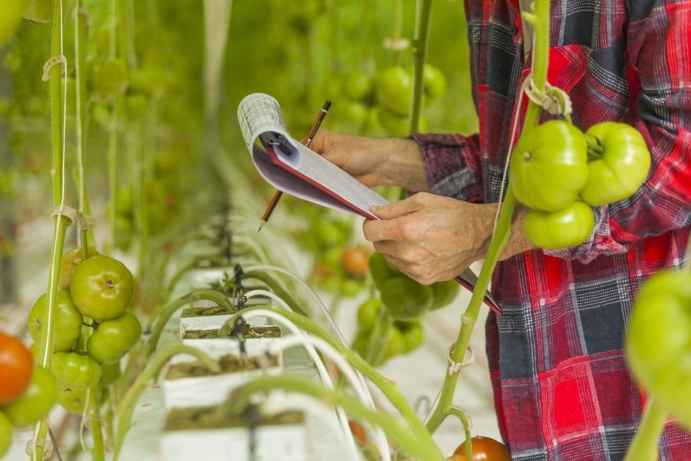 set in a greenhouse tomato