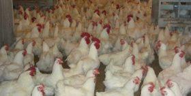 Esta exportación es el primer paso para continuar exportando pollitas bebés reproductoras.