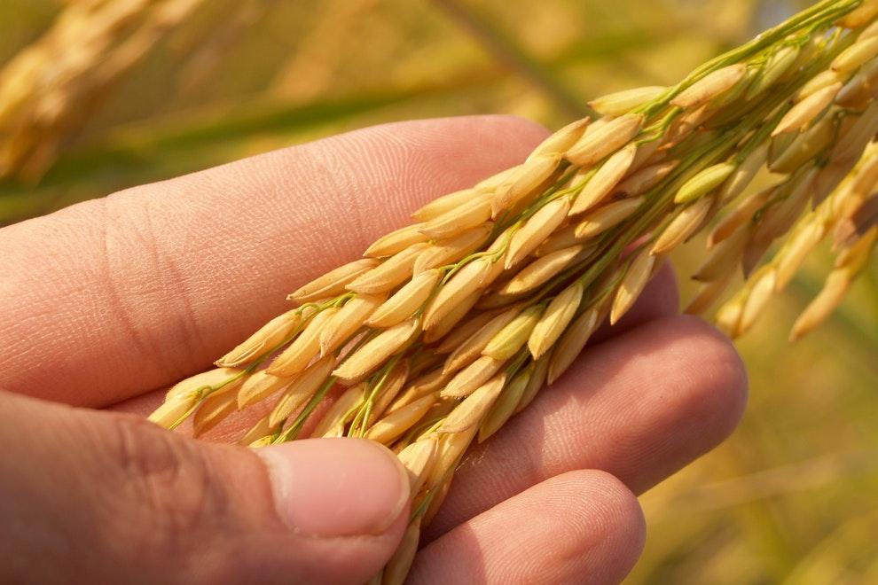 productores europeos de arroz