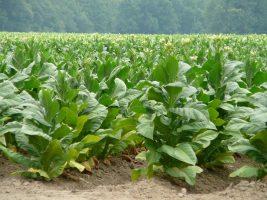 La industria del tabaco impacta en la economía de dos millones de personas en la región.