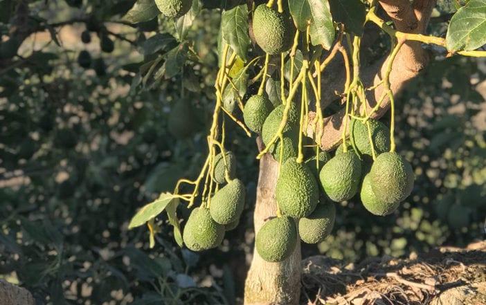 aguacate producido en republica dominicana