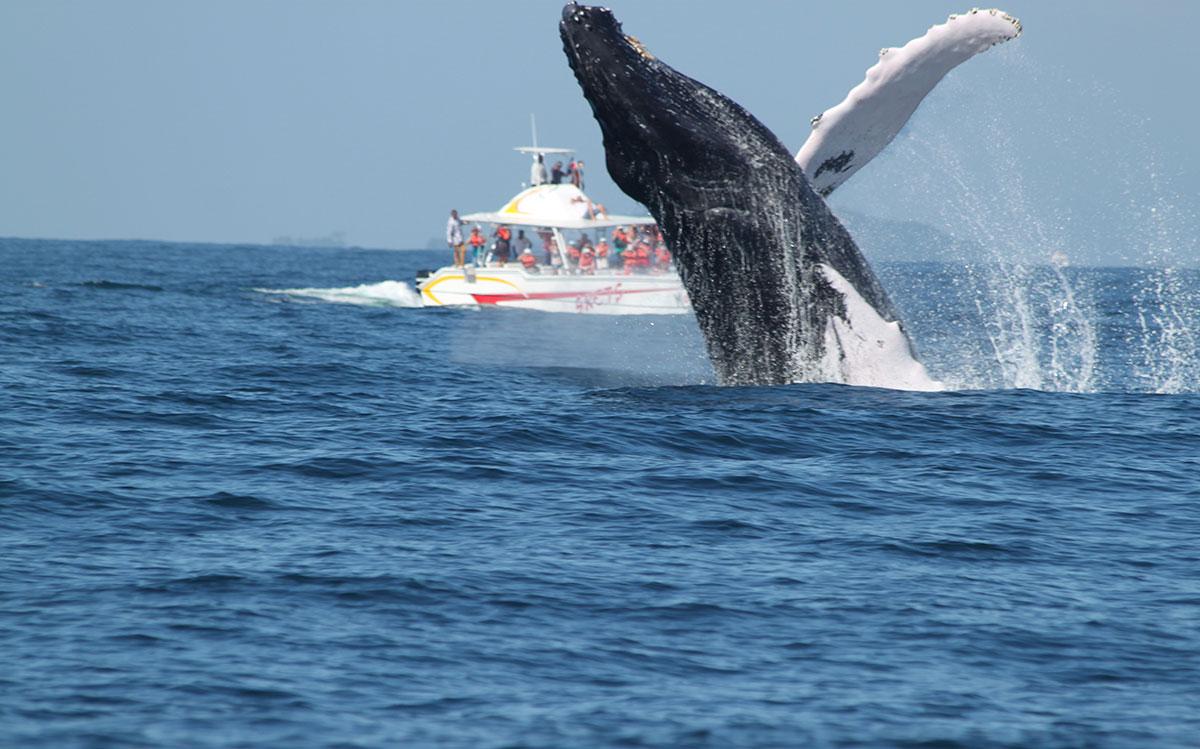 Turismo: Más de 21 millones espectadores viven experiencia ballenas  jorobadas