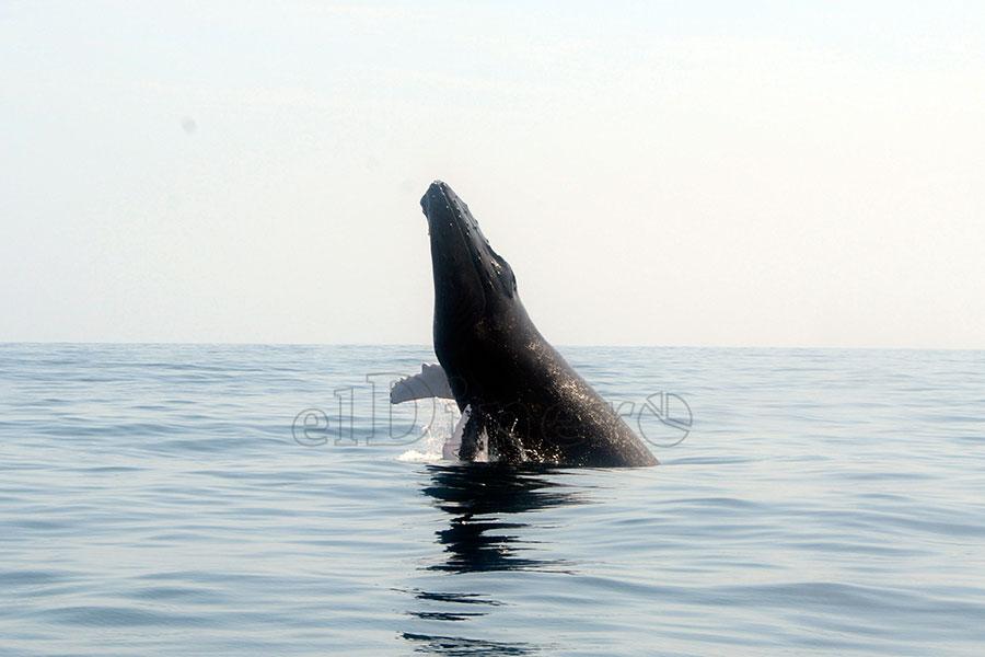 Las ballenas jorobadas comienzan a llegar al país a partir de noviembre y parten alrededor de la Pascua. | Lésther Álvarez
