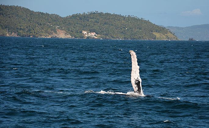 ballenas-jorobadas3