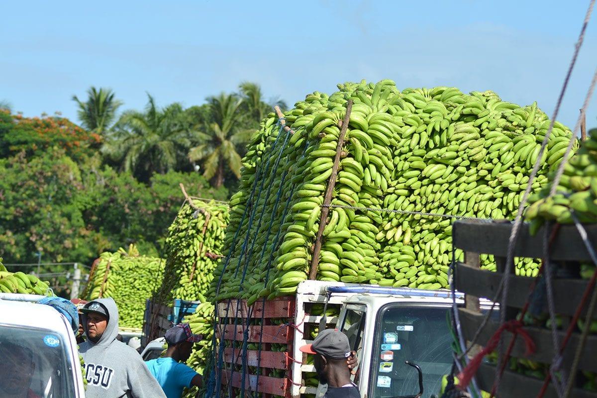 banano dominicano exportacion