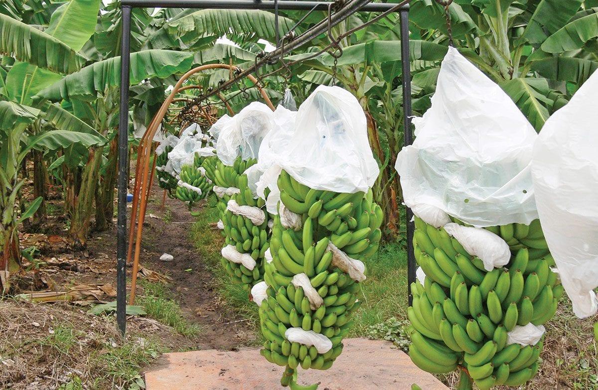 banano exportaciones reino unido