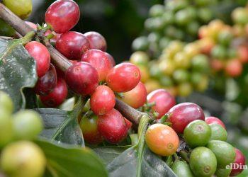 El café no sólo es una planta que genera valor económico directo, sino que se utiliza para reforestar montañas y cuencas acuíferas. | Lésther Álvarez
