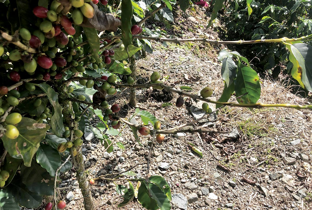 cultivo de cafe republica dominicana