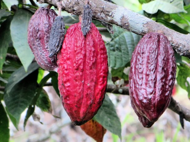 Cacao en Ecuador.