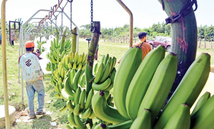exportaciones de banano