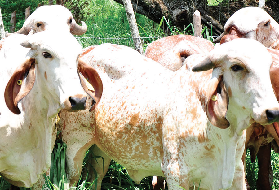 ganaderia vacas
