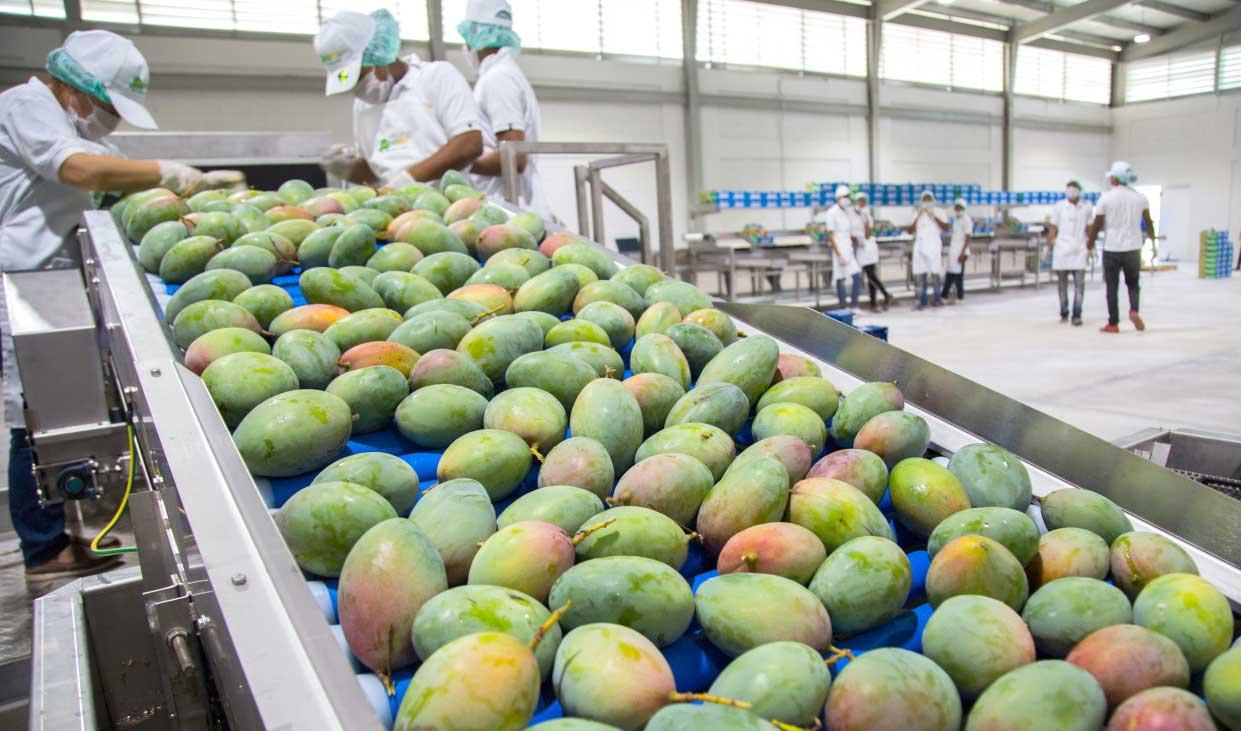 mangos exportacion