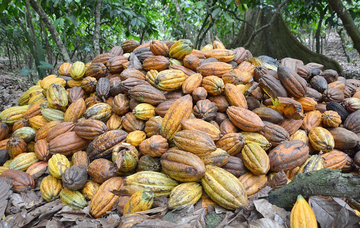 produccion de cacao dominicano