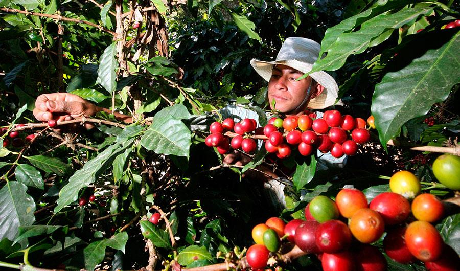 Los cultivadores de café en Colombia viven desde hace algunas semanas una crisis por los bajos precios del grano.