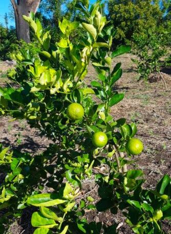 siembra limon agrio