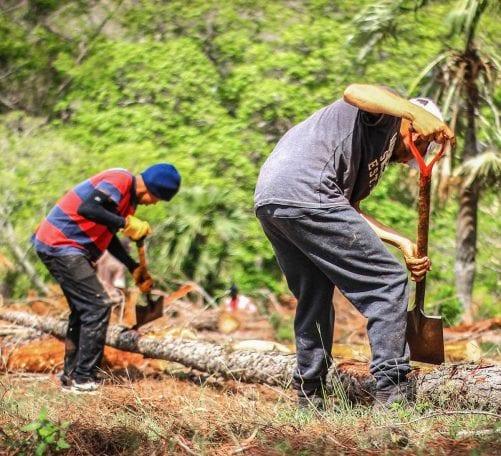 taladores escarabajo del pino