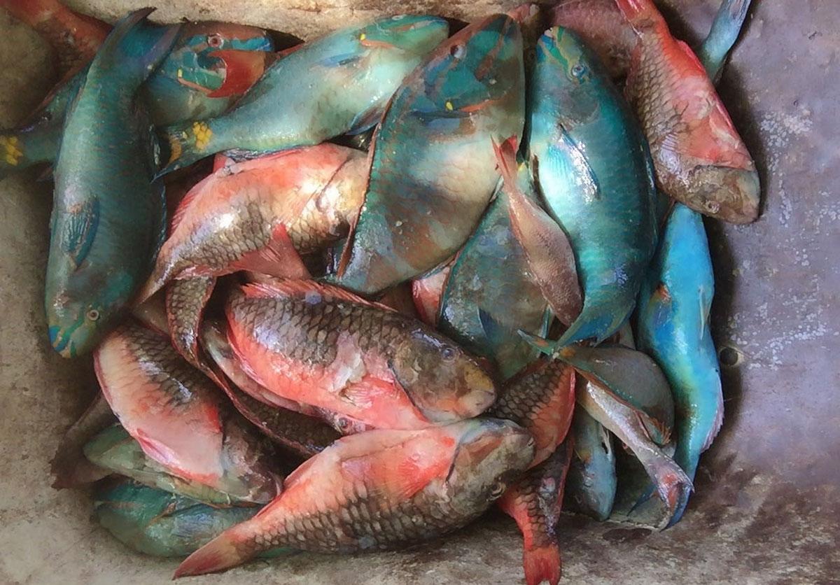 veda pez loro